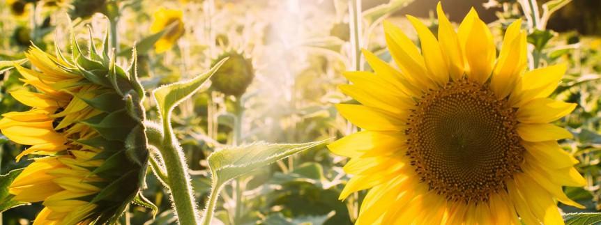 newsflash_sunflower